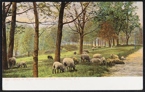 Sheep in Roger Williams Park, Providence, R.I.