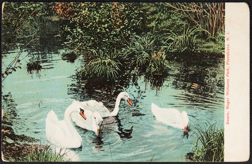 Swans, Roger Williams Park, Providence, R.I.